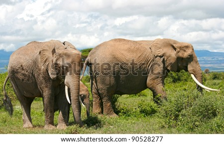 African Elephant in the savana landscape