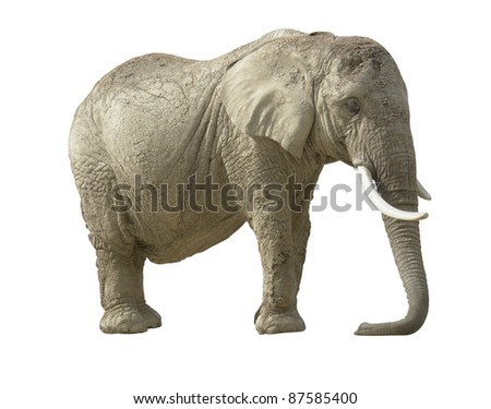 african elephant in white back
