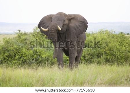 African Elephant in Wild - stock photo