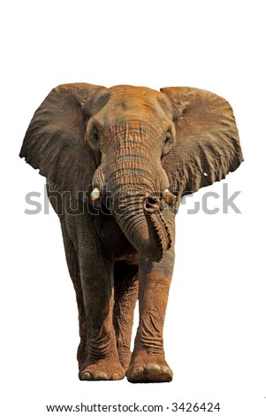 African elephant isolated on a white background - stock photo