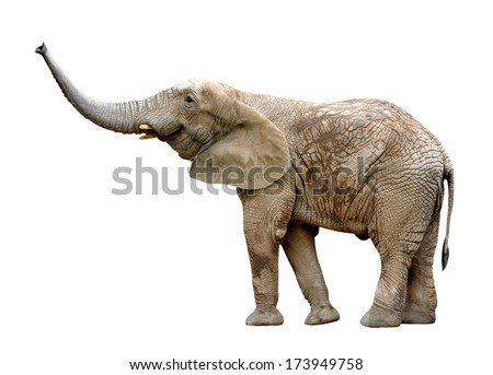 African elephant isolated on white  - stock photo