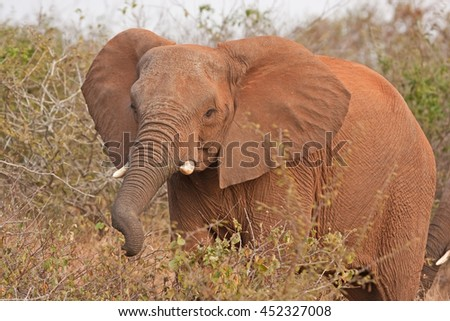 african elephant, Kruger national park, South Africa - stock photo