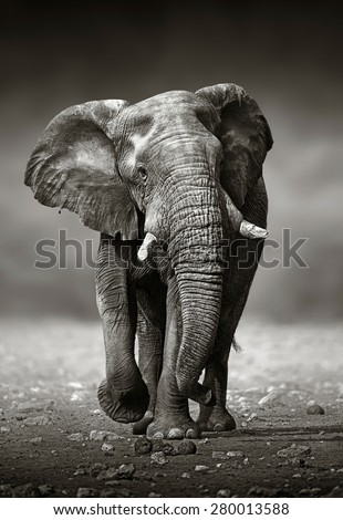 African Elephant (Loxodonta Africana) approach from the front -  Etosha National Park (Namibia) - stock photo