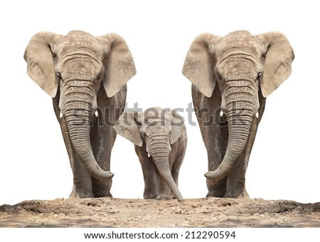 African elephant (Loxodonta africana) family on a white background.  - stock photo