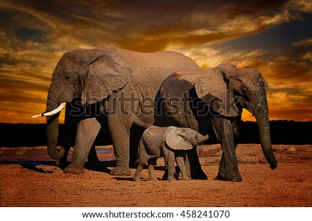 African elephant (Loxodonta africana) herd, female,  big male and baby suckling, on dramatic evening background in Addo Elephant National Park, South Africa - stock photo
