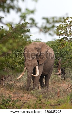 African elephant, Loxodonta africana, Kruger national park, South Africa