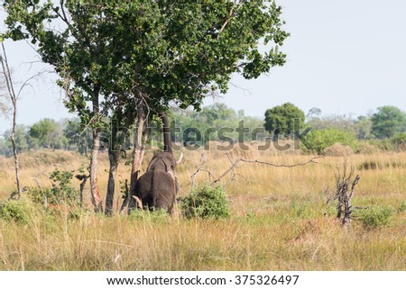 African Elephant (Loxodonta africana) reaching high into tree with truck for food, Okavango Delta, Botswana