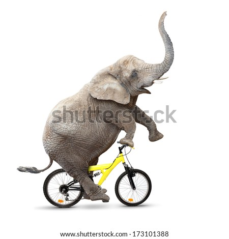 African elephant (Loxodonta africana) riding a bike. - stock photo