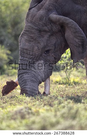 African Elephant (Loxodonta africana) using his tusks to dig for roots in the Amakhala Game Reserve, Eastern Cape, South Africa. - stock photo