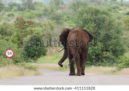 African Elephant (Loxodonta africana) walking on paved road, Kruger National Park, South Africa - stock photo