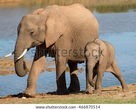 African elephant mother with it, young calf along side