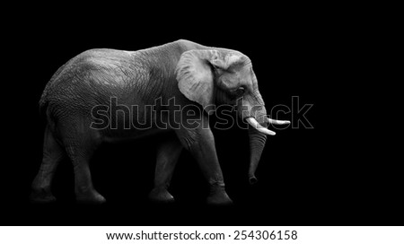 African Elephant on the black background - stock photo