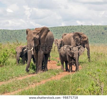 African elephant on the Masai Mara National Reserve - Kenya - stock photo