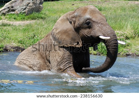 African elephant play in water - stock photo