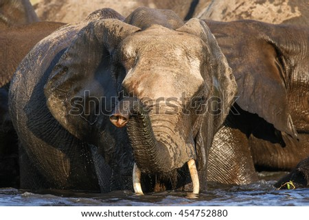 African elephant playing and drinking water in river, Botswana