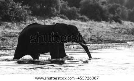 African elephant playing in river, Africa