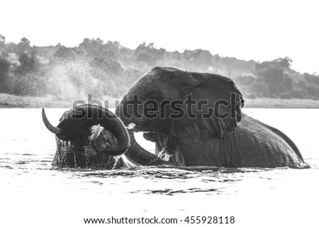 African elephant playing with river water, Africa - stock photo