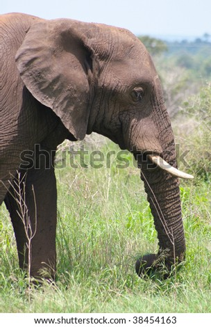 African elephant portrait - stock photo