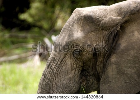 African elephant, Selous Game Reserve, Tanzania - stock photo