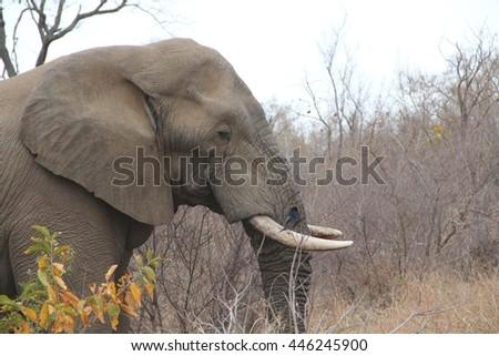 African elephant side shot. - stock photo