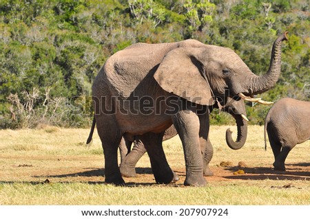 African Elephant smelling with trunk
