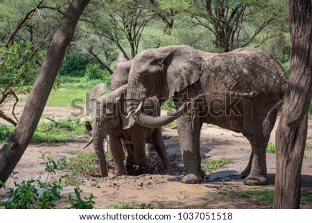 African elephant squirting muddy water over itself