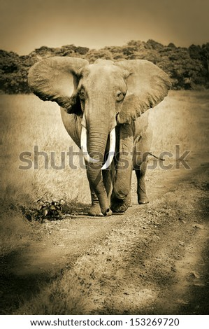african elephant walking on the road in the national park masai mara in kenya east africa - sepia - stock photo