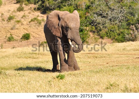 African Elephant waving trunk around