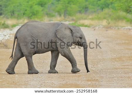 African Elephant - Wildlife Background from Africa - A day in the life of a Calf - stock photo
