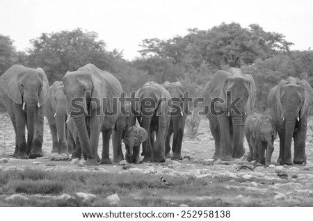 African Elephant - Wildlife Background from Africa - Herd Coming In - stock photo