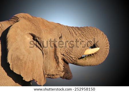 African Elephant - Wildlife Background from Africa - Pleasure of Water and Life - stock photo