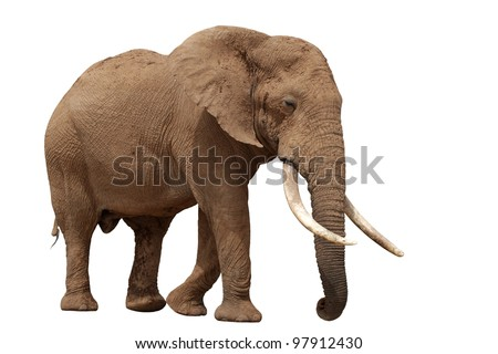 African elephant with huge tusks isolated on white background - stock photo