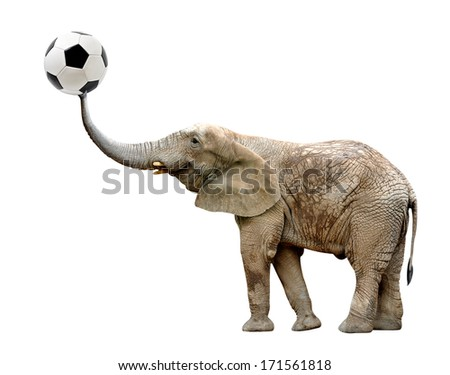 African elephant with soccer ball isolated on white  - stock photo