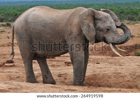 African elephant with trunk raised