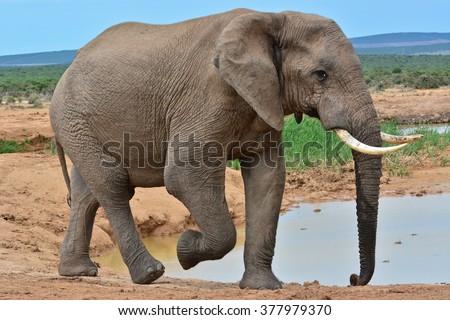 African Elephants  - stock photo