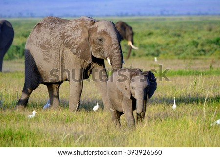 African elephants, Amboseli National Park, Kenya