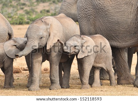 African Elephants and calf
