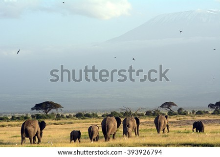 African elephants and the Kilimanjaro, Amboseli National Park, Kenya - stock photo