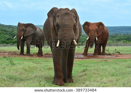African elephants at at a watering hole  - stock photo