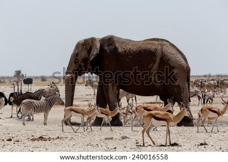 African elephants drinking at a muddy waterhole with other animals, Etosha national Park, Ombika, Kunene, Namibia. True wildlife photography - stock photo