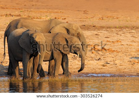 African elephants drinking at a waterhole lifting their trunks, Chobe National park, Botswana, Africa
