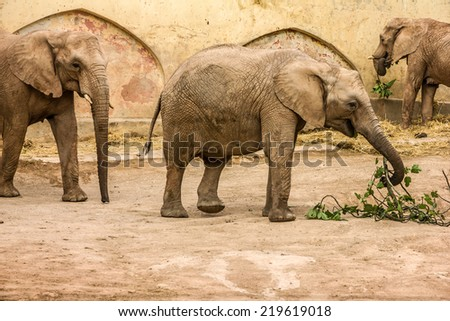African elephants feeding, Lisbon zoo