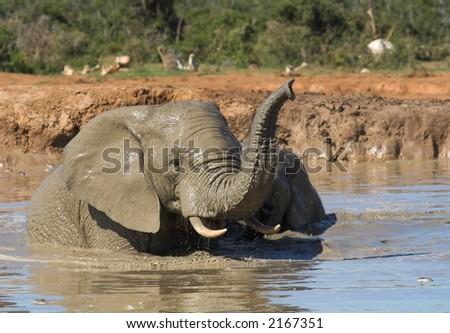 African Elephants having fun in the water - stock photo