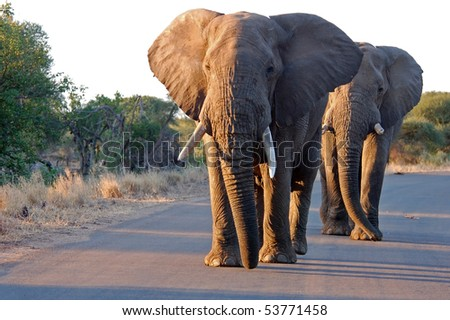 African Elephants in a road in the Kruger Park, South Africa. - stock photo