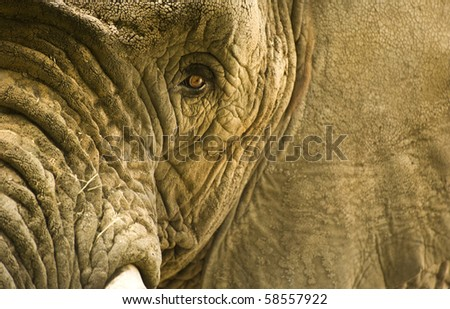 African elephants in captivity