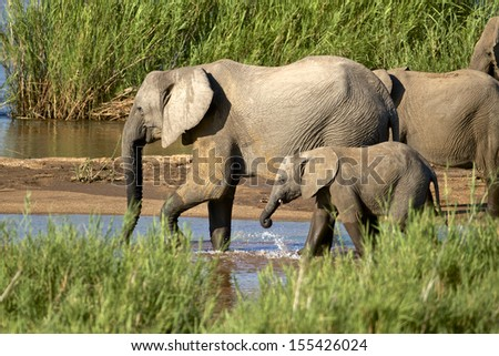 African elephants in the river, South Africa - stock photo
