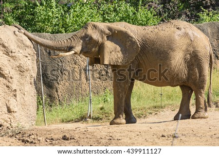 African Elephants in the zoo / Selective focus