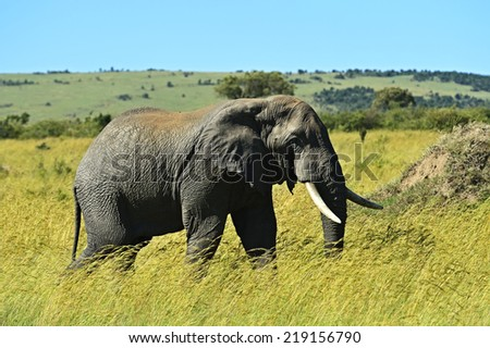 African elephants in their natural habitat. Kenya. Africa. - stock photo