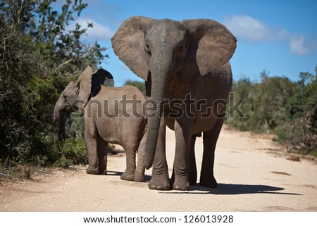African elephants (Loxodonta africana) are found in numerous habitats from savannas and deserts to marshes and forests in sub-Saharan Africa. - stock photo