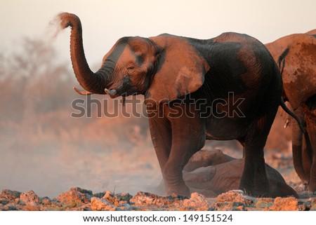 African elephants (Loxodonta africana) covered in dust, Etosha National Park, Namibia  - stock photo